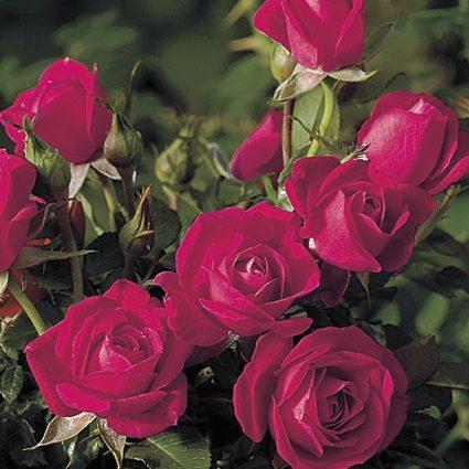 Rose Miniature Tree