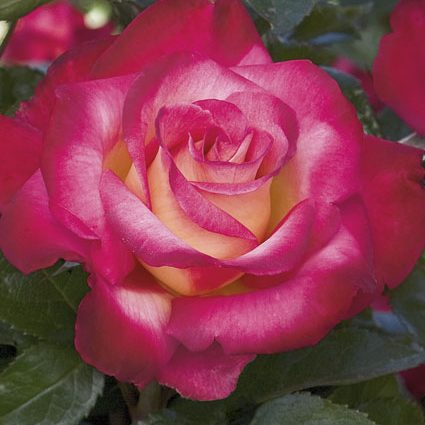 Rose Grandiflora