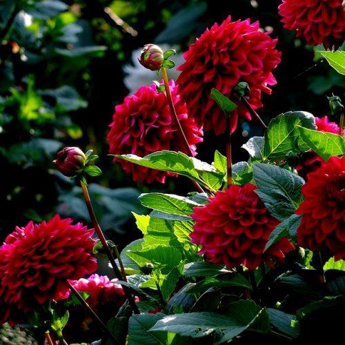 Late Summer Summer Flowers Dahlias Midsummer