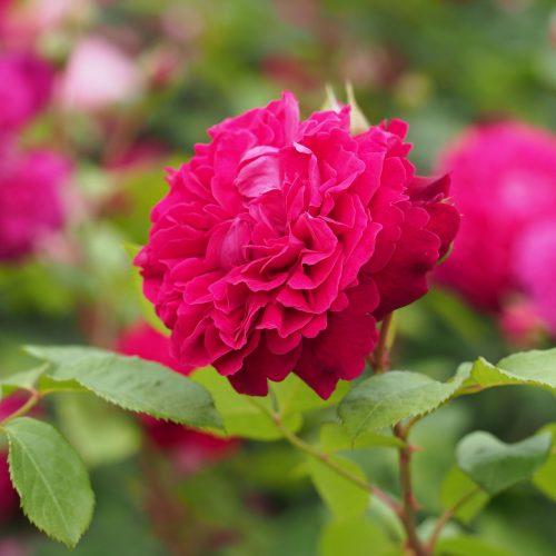 a william shakespeare rose