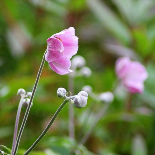 harvest-anemone-894125_960_720