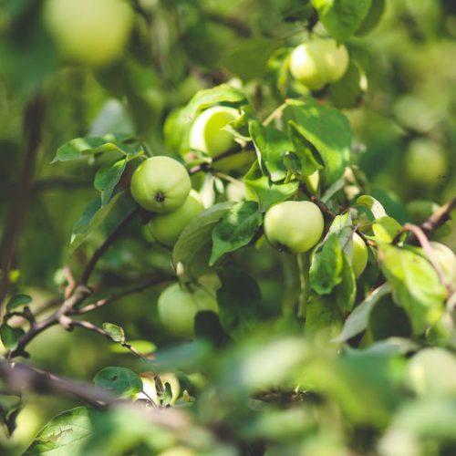 healthy-nature-apple-leaf