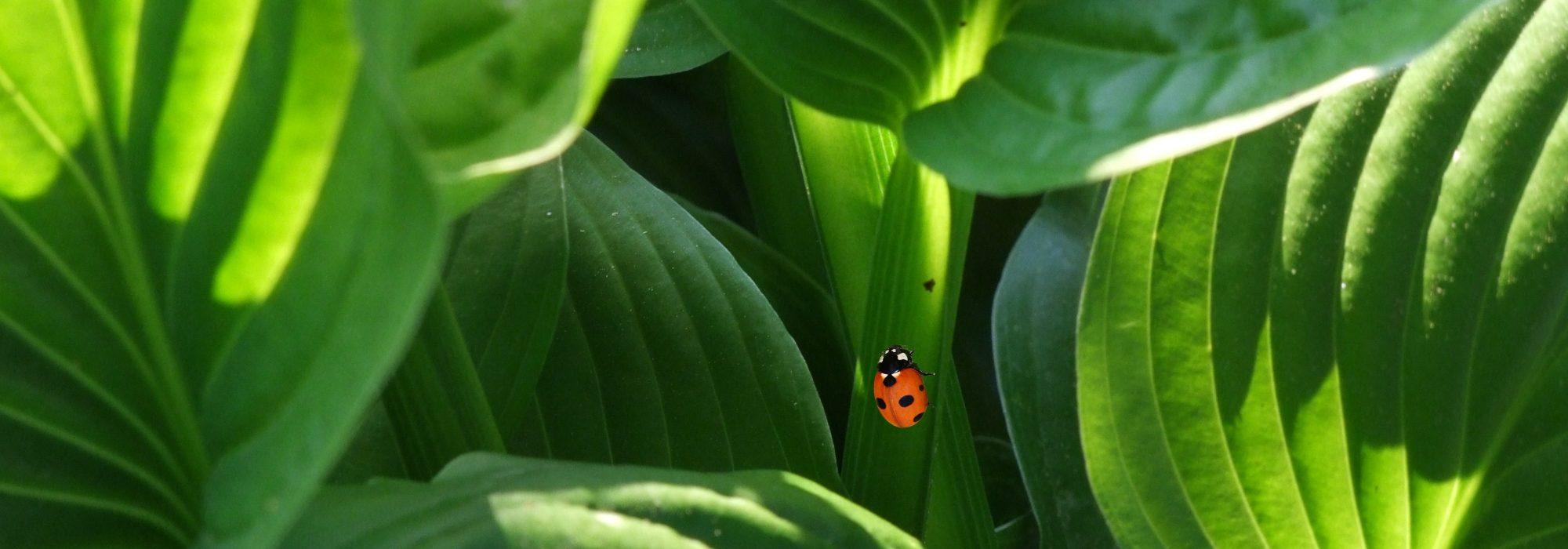 ladybug-beetle-plant-ornamental-plant-66289.jpeg