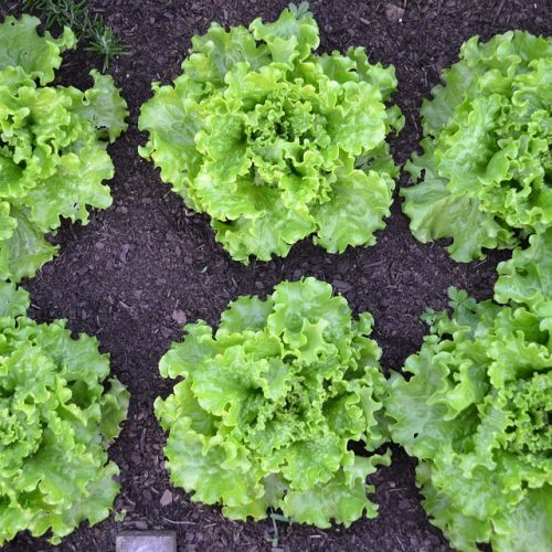 Green Salad Vegetable Garden Batavia Lettuce