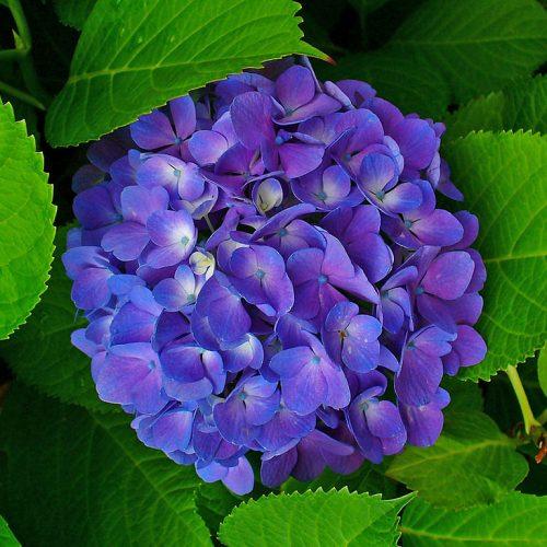 1024px-Hydrangea_macrophylla_002