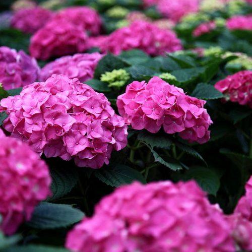 800px-Spring-pink-hydrangea_-_West_Virginia_-_ForestWander