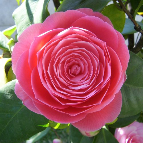 Camellia_japonica_rosa