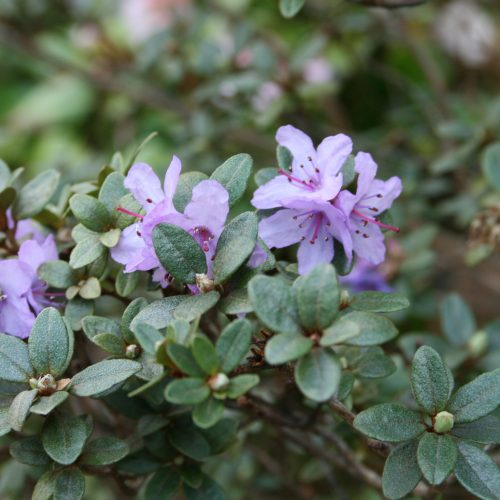 Rhododendron_complexum
