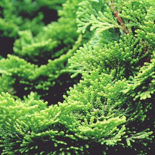 Tree Green Cypress Tree Hinoki Plant Cypress