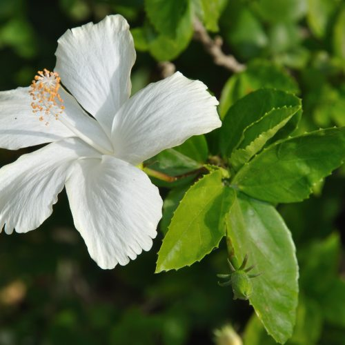White_Hibiscus_5821