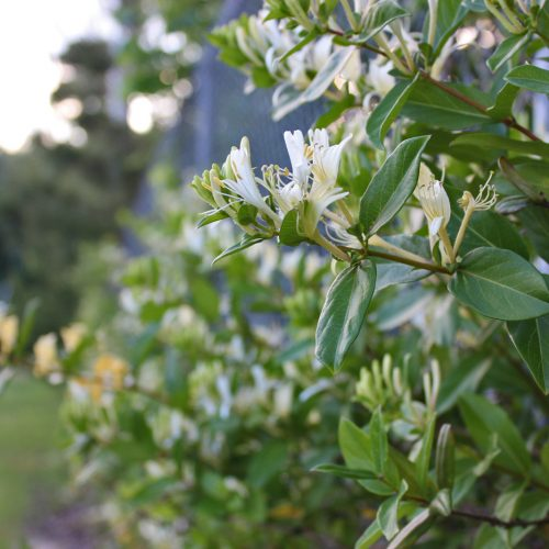 a Honeysuckle_On_Fence