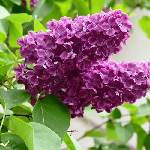 lilac-1337068_960_720